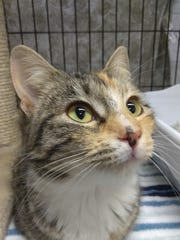 Cheeta is a 7-month-old cat who is a tabby/calico blend.