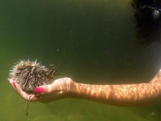 Amanda Hicks holds a sea urchin she found along the