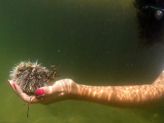 Amanda Hicks holds a sea urchin she found along the intracoastal at Blue Heron Bridge in Riviera Beach.