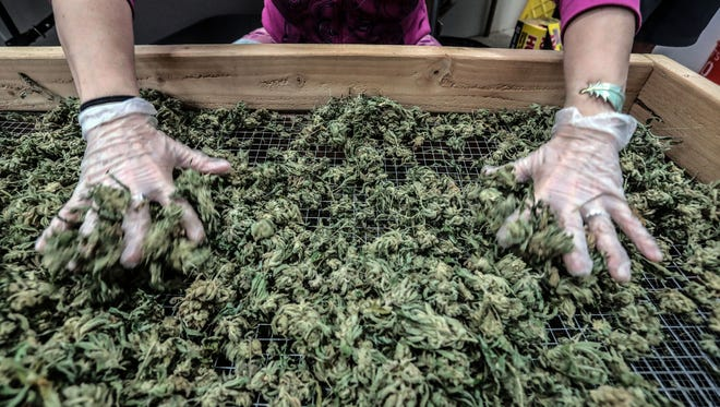 Cannabis is processed in a grow facility operated by Patrick Kelly in Coachella. Voters in Yucca Valley recently voted not to allow cultivation in the town.