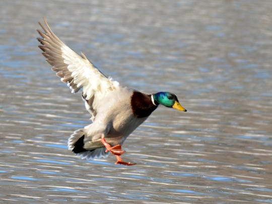 Hunters going for ducks would love to see a mallard