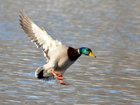 Hunters going for ducks would love to see a mallard like this one come into range.