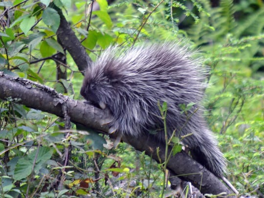 Getting a photo of a porcupine is a rare experience.