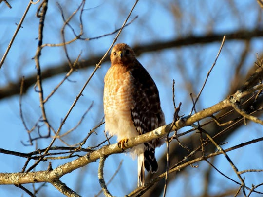 A Coopers hawk hangs out near the author's bird feeders.