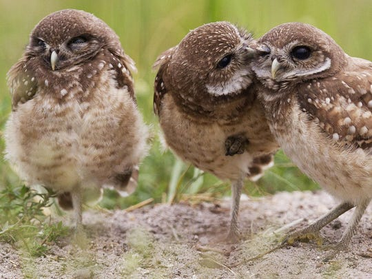 A juvenile burrowing owl, center, preens a sibling