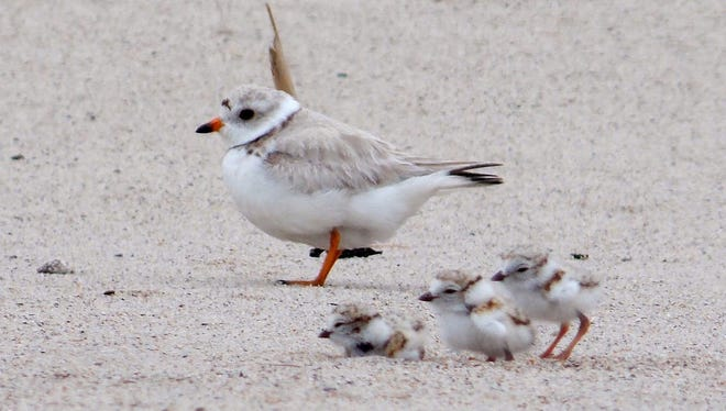 Small shorebirds with sand-colored plumage, piping plovers flock to beaches along the East Coast, Great Lakes and northern Great Plains to nest from mid-March through mid-May. They lay 3-4 eggs in shallow depressions lined with light colored pebbles and shell fragments, camouflaging the eggs from predators. After the eggs hatch, both mother and father feed the young until they can fly and protect their chicks from predators like foxes and crows. In the meantime, the young can be spotted hiding under their mothers for protection or zooming across the sand in a way that many have likened to a tiny wind-up toy. Piping plover populations are on the rise, thanks to the work of many partners. But with fewer than 4,000 on the Atlantic coast, each one makes a difference. Photo of a family of piping plover at Rachel Carson National Wildlife Refuge in Maine.