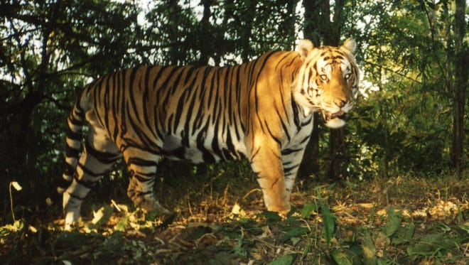 A camera trap photo of a tiger taken in Huai Kha Khaeng Wildlife Sanctuary in Thailand.