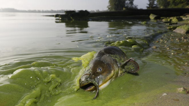 "FILE -A catfish appears on the shoreline in the algae-filled waters of North Toledo, Ohio, Wednesday, Sept. 20, 2017. Lake Erie's annual blob of pea-green algae is expected to be smaller this summer than a year ago following a relatively dry spring, but that doesn't necessarily reflect significant improvement toward reducing nutrient pollution that causes it, scientists said Thursday, July 9, 2020. A forecast released by The National Oceanic and Atmospheric Administration predicts the algae bloom will reach 4.5 on its severity index, a ""moderate"" reading. It will be lower than last year's 7.3 rating but higher than the 3.8 measured in 2018."