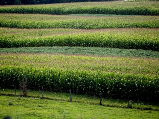 Rows of corn are interspersed with rows of soybeans in a northern Augusta County field.