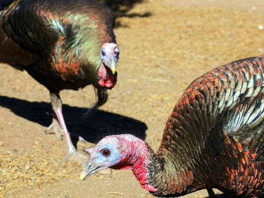Two turkeys are excited to see the photographer.