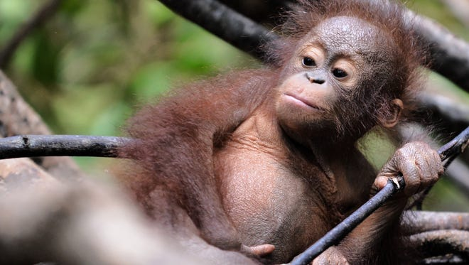 """In this file photo taken on August 4, 2016 shows an orphan orangutan baby playing in a tree during """"jungle school"""" at the International Animal Rescue centre outside the city of Ketapang in West Kalimantan."""