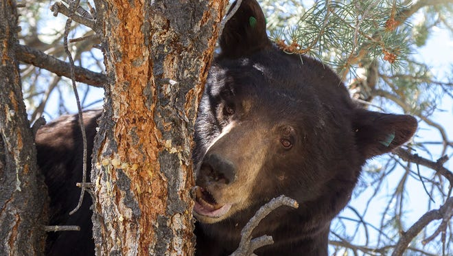 After release on Saturday, one of the captured bears undergoes aversion training.