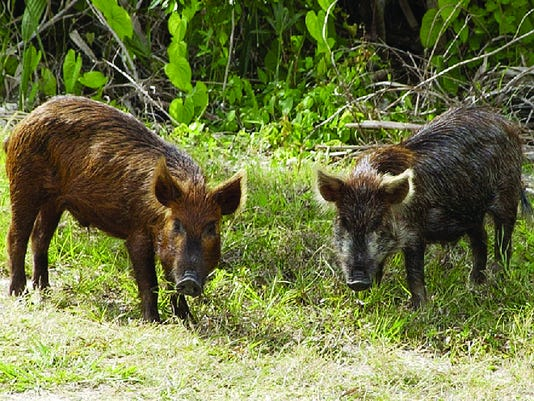 Feral-Hogs-.jpg
