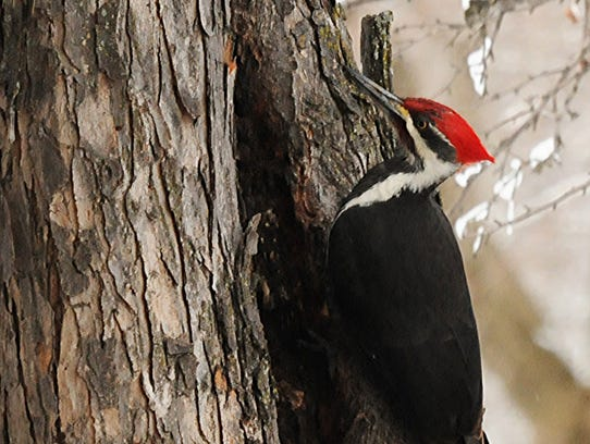 A male pileated woodpecker hunts for burrowing insects