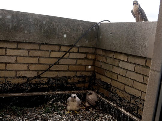 Hathor, the Peregrine Falcon mother of newly named