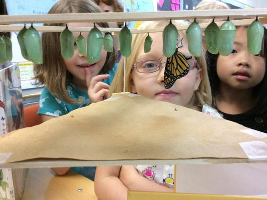 Students watch as the first butterfly emerges from