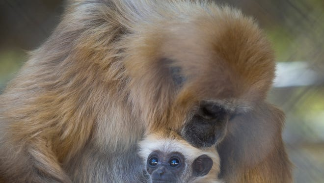 Lovey, the White-Handed Gibbon, holds on to her 2-month-old infant at Wildlife World Zoo & Aquarium