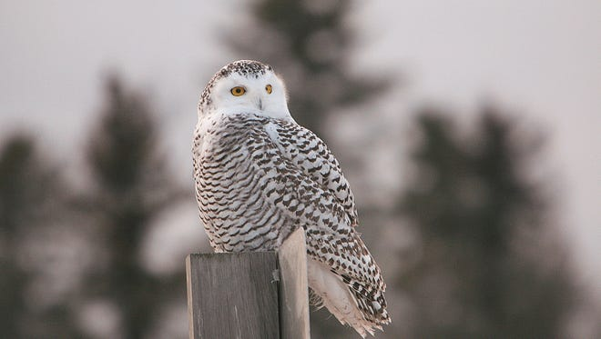 A juvenile snowy owl, on the lookout for food, sits on a road sign.