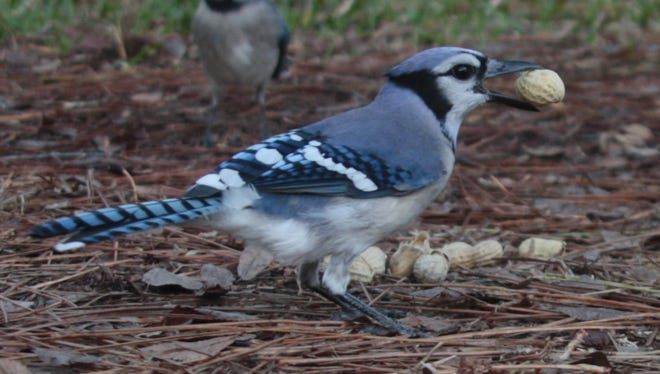 Jays and squirrels seem to love peanuts.