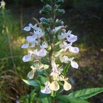 The flowers of wood sage that have been open the longest will fade to the color of butter.