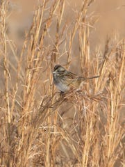 The coastal plain swamp sparrow only breeds in habitats