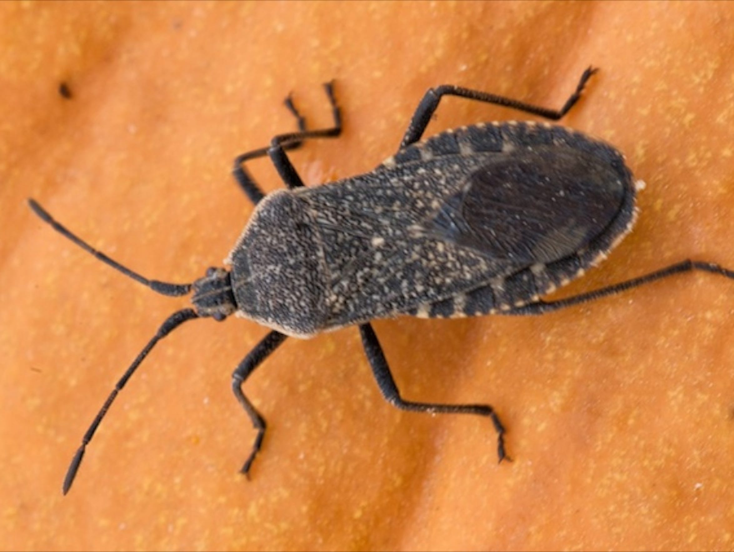 This is a squash bug, which can be mistaken for a kissing