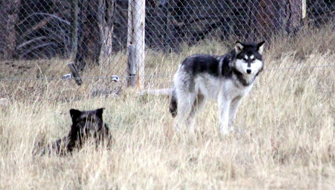 These wolves are seen in captivity in South Dakota. The Mexican Gray Wolf numbers are up in Arizona and New Mexico which is good news for the endangered species.