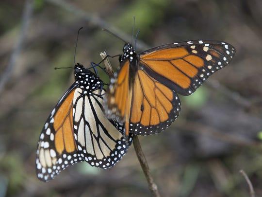 Monarch butterflies climb up a twig at the Piedra Herrada