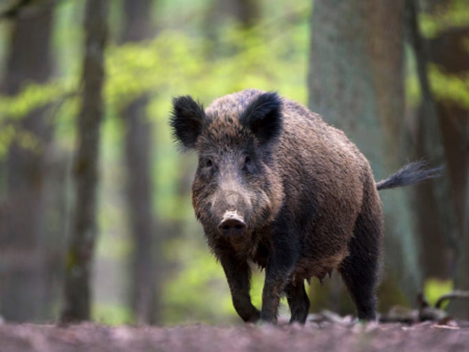 Wild boars like this female, walking through a European forest, are being hunted, killed, and destroyed to the tune of hundreds of thousands of dollars. Why? They are radioactive.