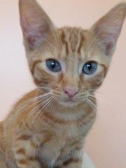 Meow is a breathtaking, male domestic short hair kitten