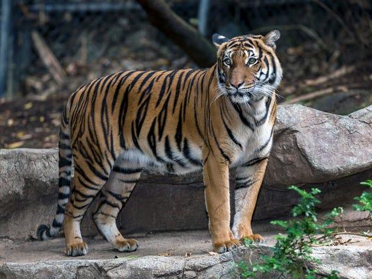 tiger fatally mauls mate at san diego zoo