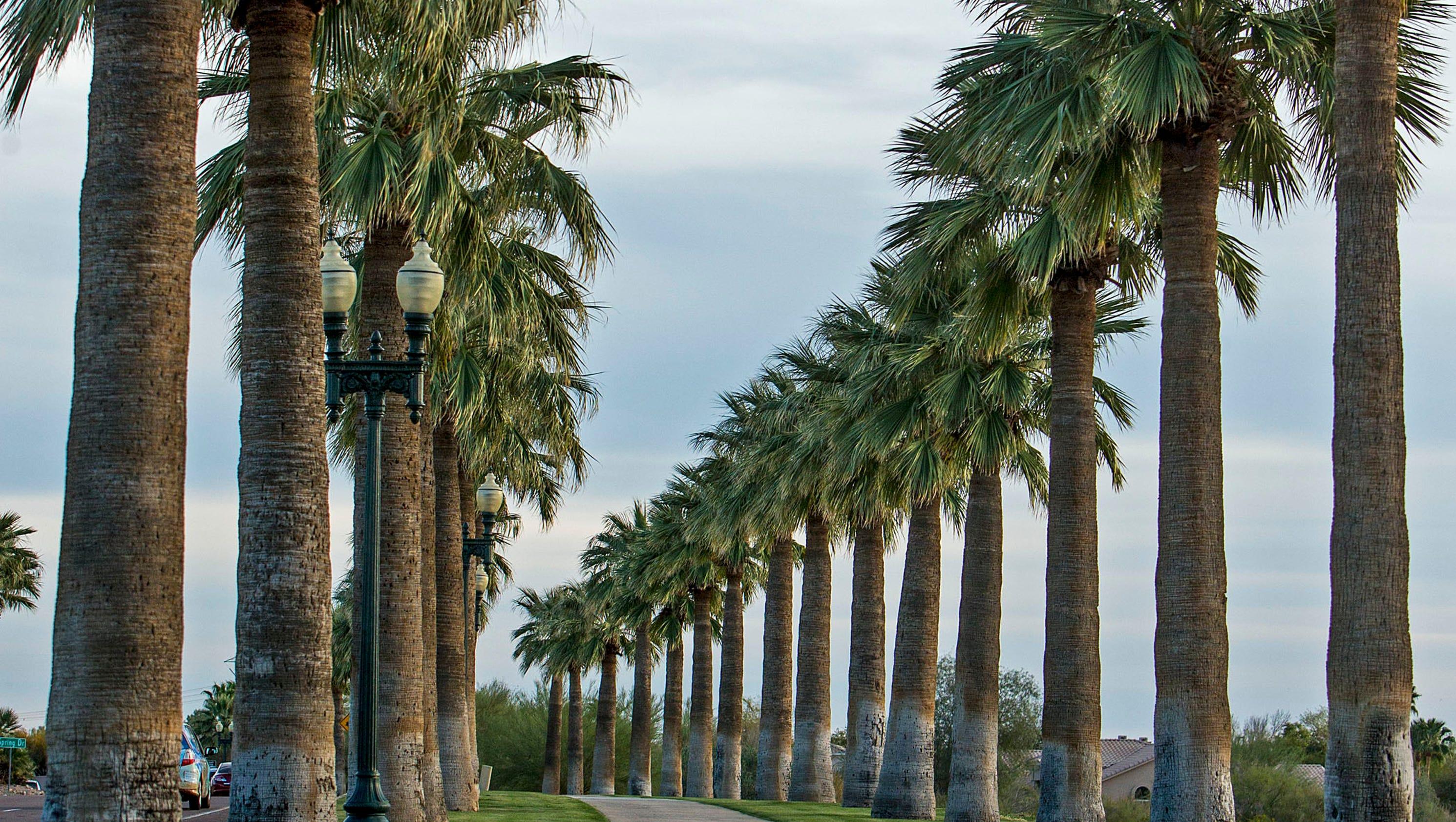 are palm trees native to arizona. Black Bedroom Furniture Sets. Home Design Ideas