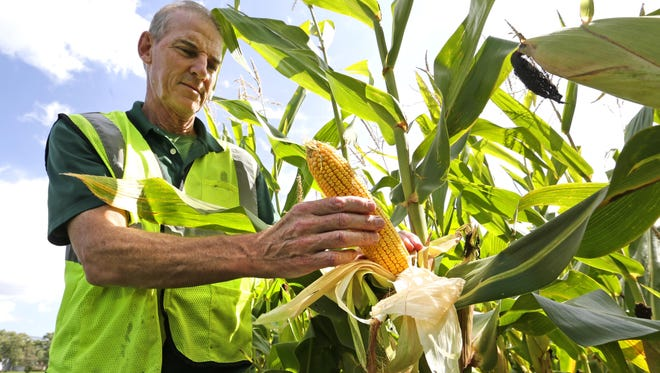 Chris Gorman shows the effects of rain and good weather on the corn crop in southern Wisconsin. Corn strands produced many kernels on the cob at a Union Grove field. Slowing demand and high production have farmers worried about low prices for corn and soybeans.