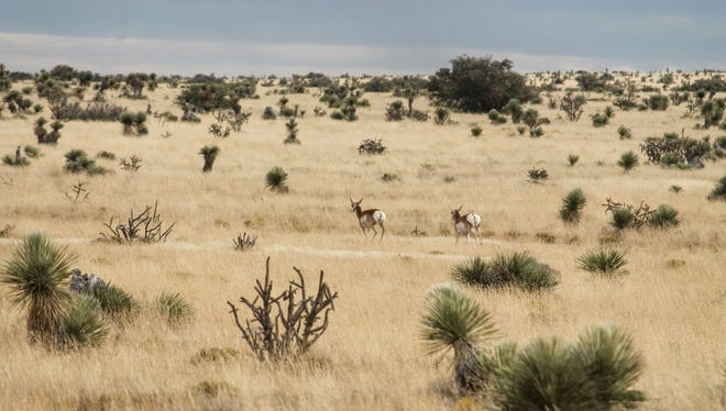 In this file photo, two proghorns, native to the Otero Mesa in Otero County, are seen running through the grasslands of Otero Mesa .