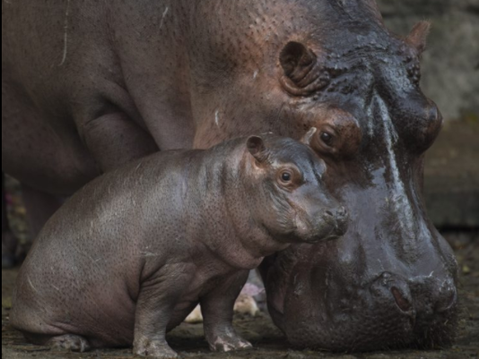 636549066861173735-babyhippo2.PNG