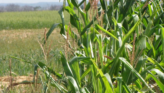 Corn growing in a test plot at the Northern Great Plains Research Laboratory in Mandan, North Dakota.