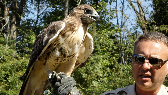This hawk is a star of the Birds of Prey program, presented by David Haggard.