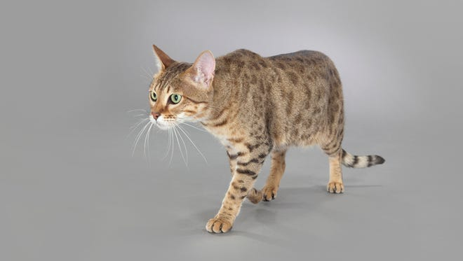 The Savannah is a domestic hybrid cat breed that sits about 2 feet tall and weighs 25 pounds. It is a cross between a serval and a domestic cat.