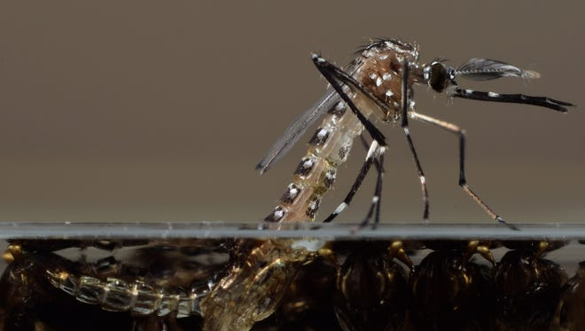 This undated photo made available by Oxitec shows a genetically modified Aedes aegypti mosquito in their U.K. lab. The U.S. Food and Drug Administration is considering releasing the non-biting male Aedes aegypti mosquitoes modified by Oxitec to pass along a birth defect to their progeny, thus killing off the next generation of the mosquitoes that can carry dengue and chikungunya. The FDA is planning to release the mosquitos in a neighborhood of 444 homes near Key West, Florida.