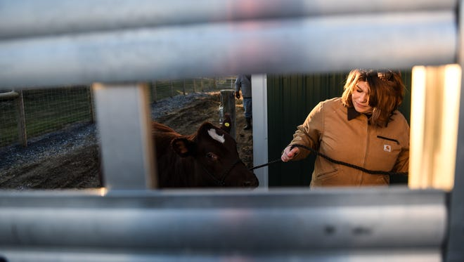 Emily Bomgardner, 18, of Annville, loads a short horn heifer on a truck on Wednesday, January 6, 2016, to be taken to the Pennsylvania Farm Show.