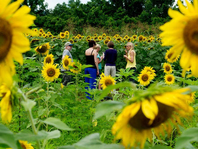 Visitors walk through the sunflower fields at Forks