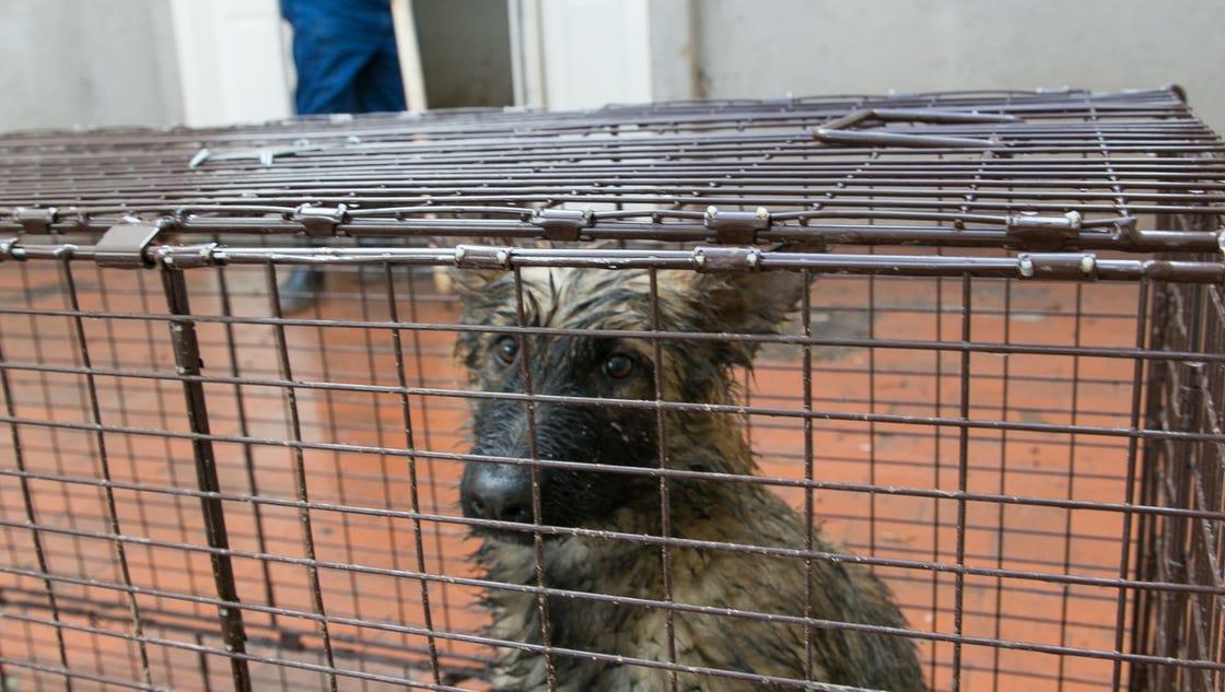 czech shepherds not yet adoptable county says