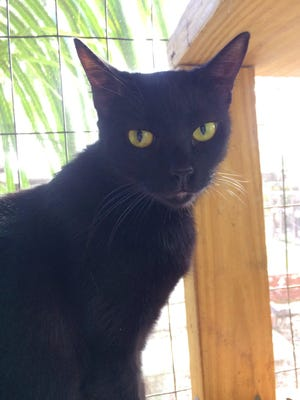I'm Juliette -- a sweet young lady, about 3 years old, with a silky black coat and big golden eyes