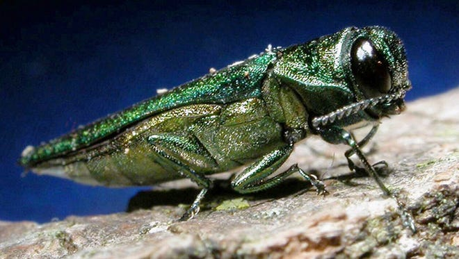 An adult emerald ash borer