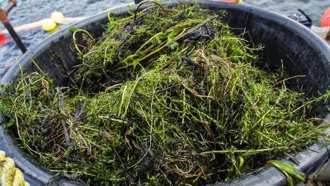 Eurasian watermilfoil is gathered from the bottom of Lake Dunmore in Salisbury on Aug. 20. Advocates for Lake Iroquois in Williston are planning a strategy to battle the invasive plant there.