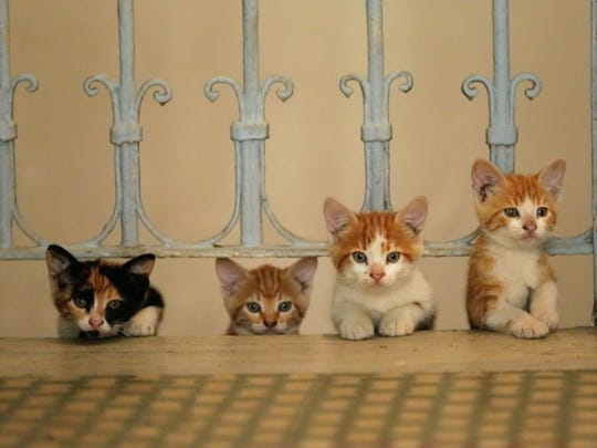 "A quartet of kittens, seen in the new film ""Kedi."""