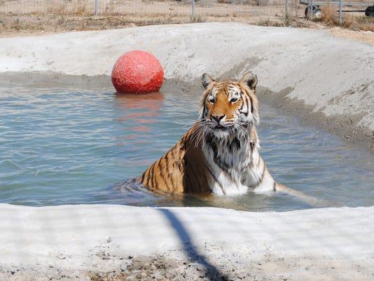 lily tiger 3.jpg