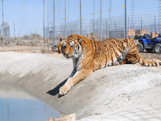 Lily, a Siberian tiger at Safe Haven Rescue Zoo, checks