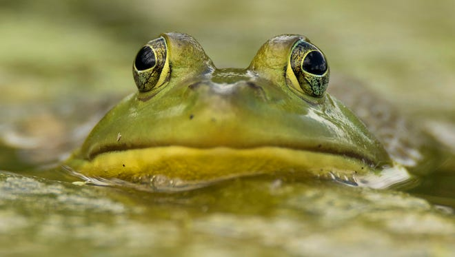 A resident was alarmed by a loud sound Monday, thinking it was a burglary alarm. The disturbing sound turned out to be bull frogs.