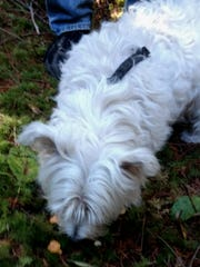 Mick, Phil McCorkle's West Highland white terrier, checks out several smallish chanterelle mushrooms during a recent outing in the Coast Range.